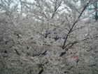 Sakura_2008330
